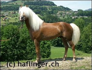 Haflingerfoto